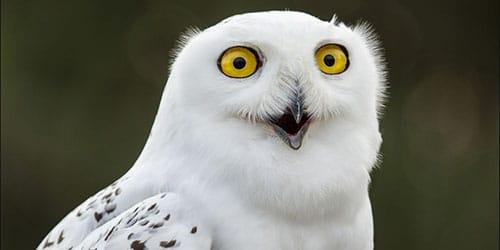 держать в руках белую сову