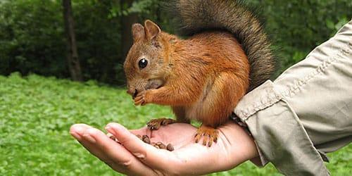 белка кушает с рук