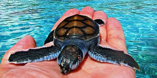 поймать черепаху