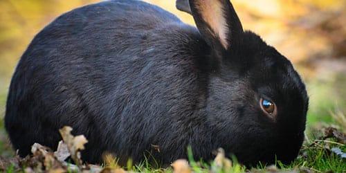 черный кролик во сне