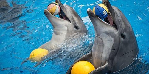 дельфины играют в бассейне