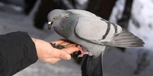 кормить голубей с рук
