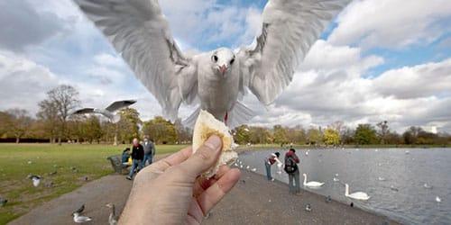 кормить голубей хлебом