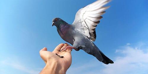 кормить голубей семечками