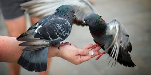к чему снится кормить голубей