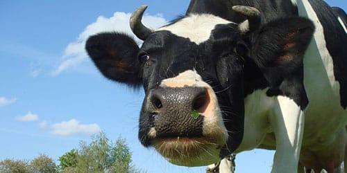 к чему снится что корова бодается