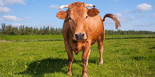 приснилось что корова бодается