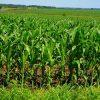 видеть кукурузное поле во сне