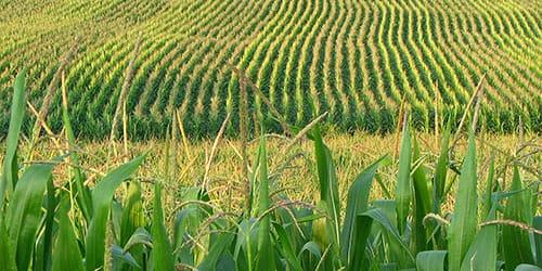 к чему снится молодое кукурузное поле