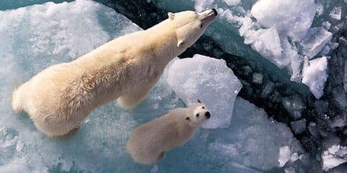 белый медведь с медвежонком