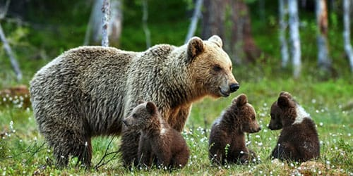 бурый медведь с медвежатами