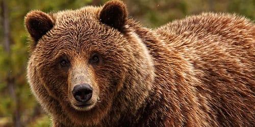 к чему снится злая медведица