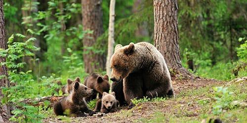 видеть во сне медведицу с медвежатами