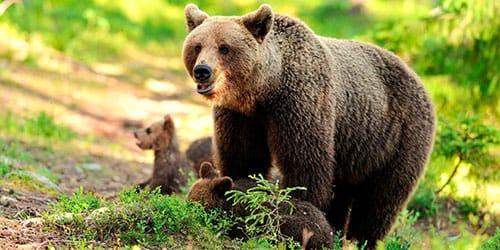 к чему снится медведица с медвежатами