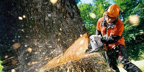 спилить живое дерево