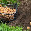 сажать картошку во сне