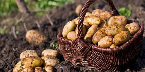 сажать картошку в поле