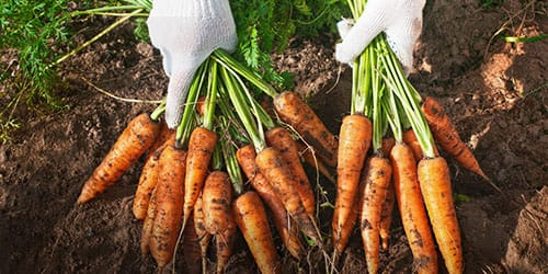 собирать урожай моркови