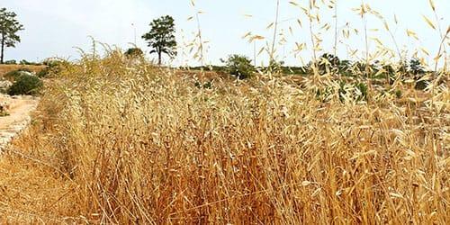 высокие заросли сухой травы