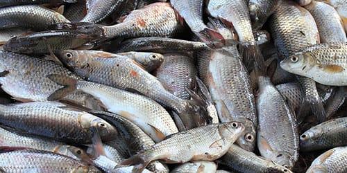 много свежей рыбки