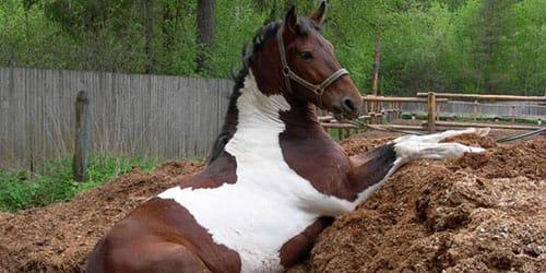 убирать лошадиный навоз