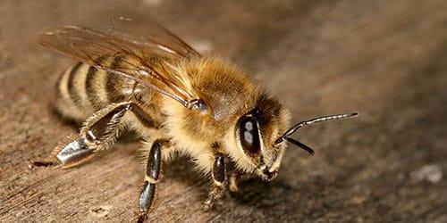 укус пчелы во сне