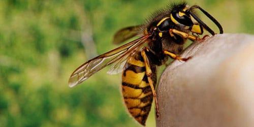 приснилось что ужалила пчела