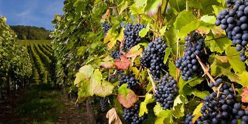 видеть виноградник во сне