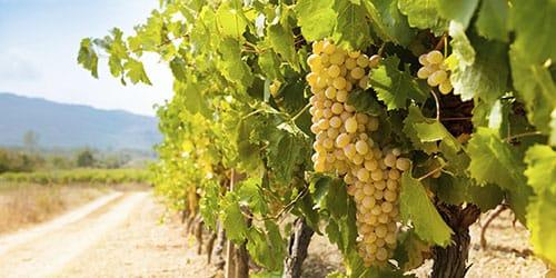 к чему снится виноградник