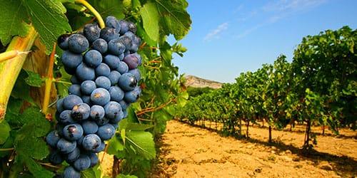 посадка виноградника