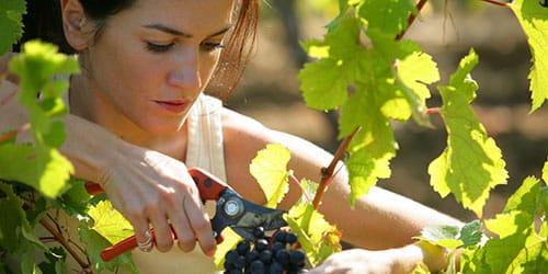 собирать урожай винограда