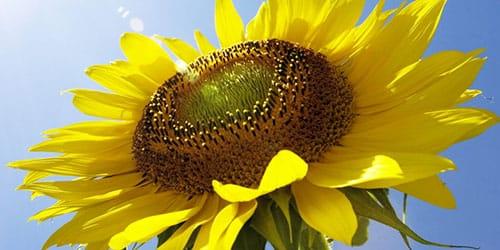 приснился желтый подсолнух