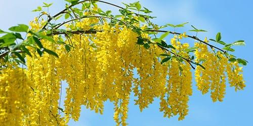 желтые цветы на дереве
