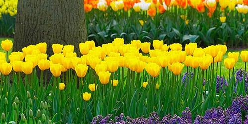 желтые тюльпаны в саду
