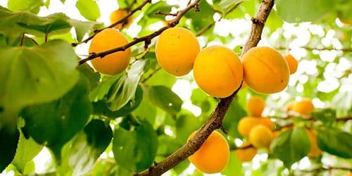 видеть во сне абрикосы на дереве
