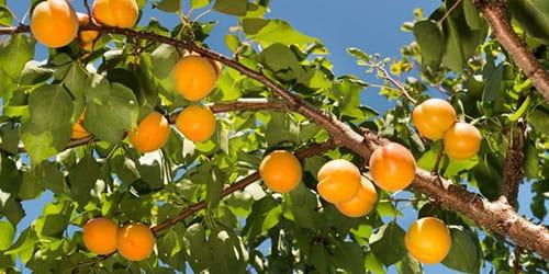 к чему снятся абрикосы на дереве