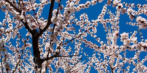 цветущее абрикосовое дерево