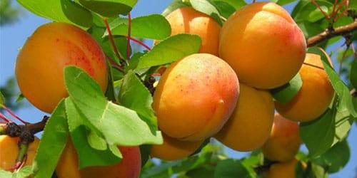 ветви с плодами