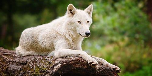 видеть белого волка во сне