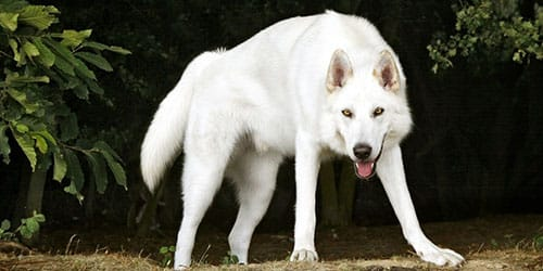 к чему снится белый волк