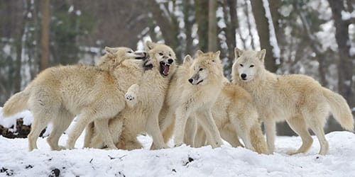 стая белых волков