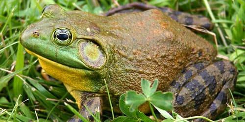 к чему снится большая жаба