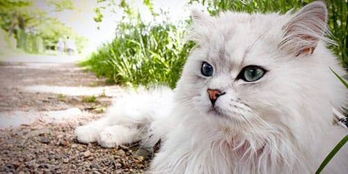 к чему снится большой кот