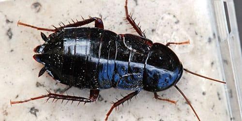 к чему снится большой таракан