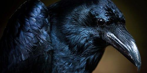 к чему снится черная птица