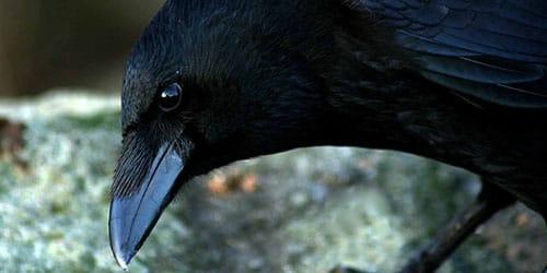 птица темного окраса