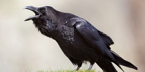 большая кричащая птичка