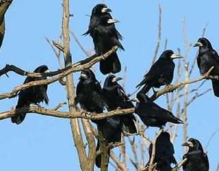 Сонник чёрный ворон