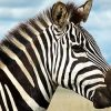 к чему снятся дикие животные