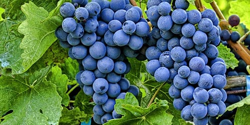 кислый виноград